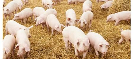 Hog Roasting Pigs